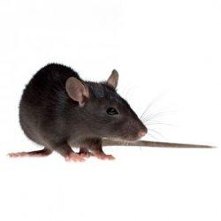 Chuột: Kẻ thù số 1 của máy cắt decal